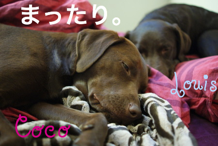 sleepy-lab04.JPG